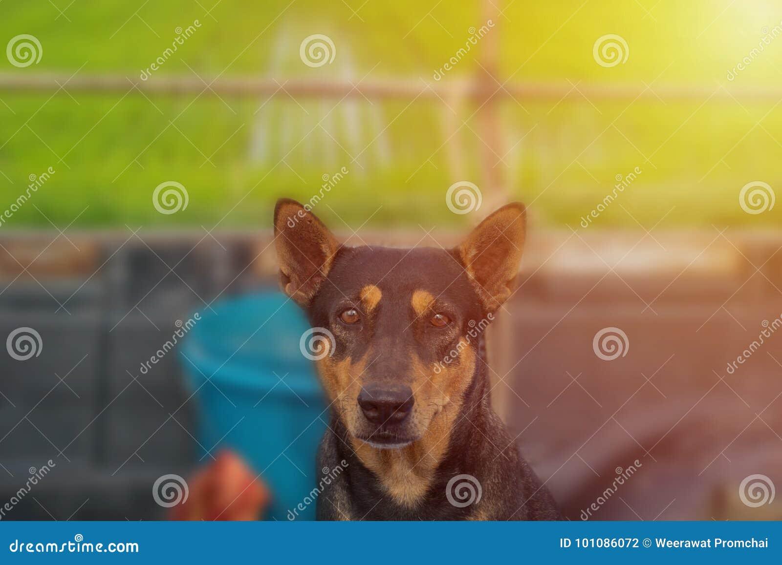 Μαύρο κοίταγμα σκυλιών