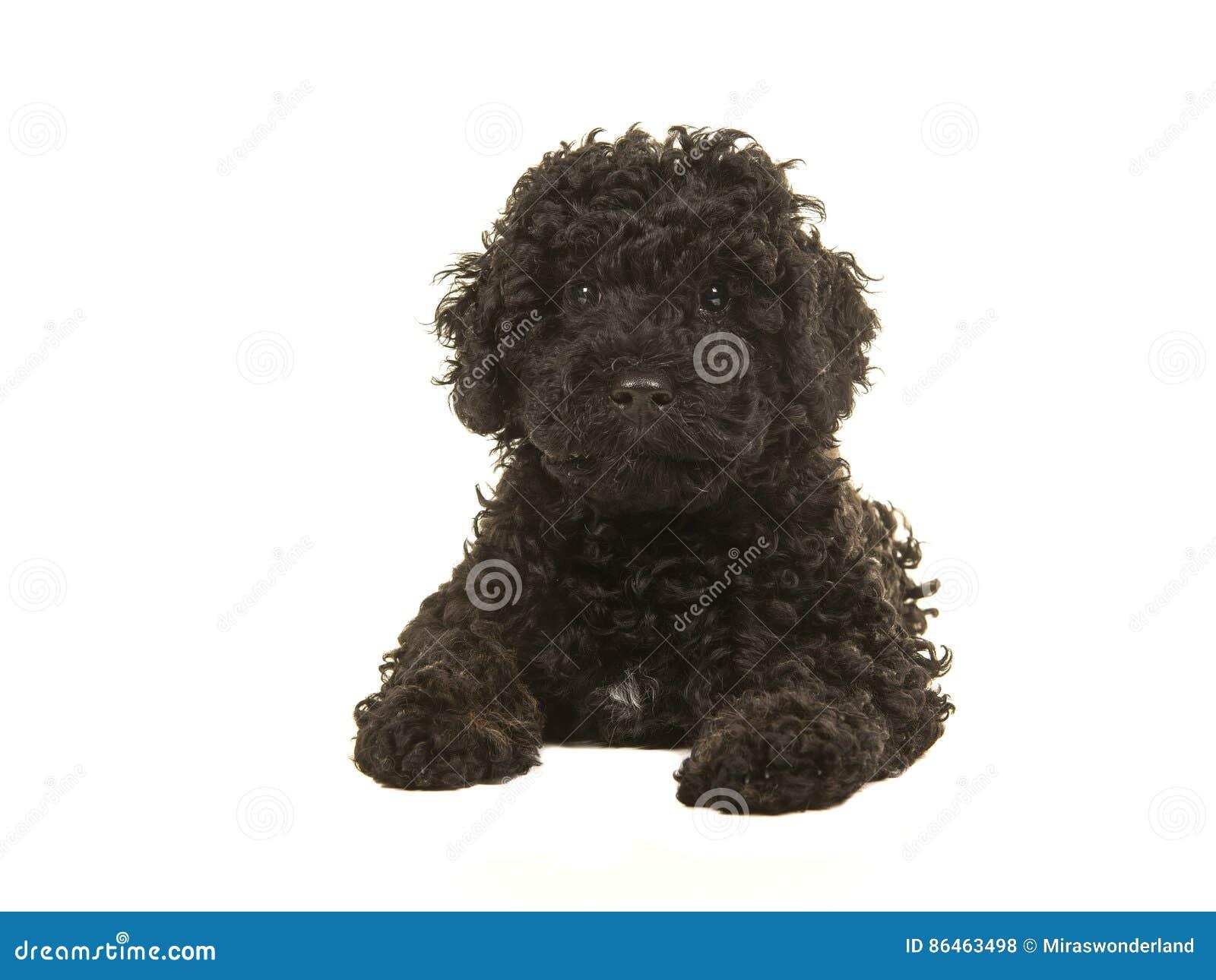 Μαύρο κουτάβι labradoodle που αντιμετωπίζει τη κάμερα που βλέπει στο πάτωμα που βλέπει από το μέτωπο
