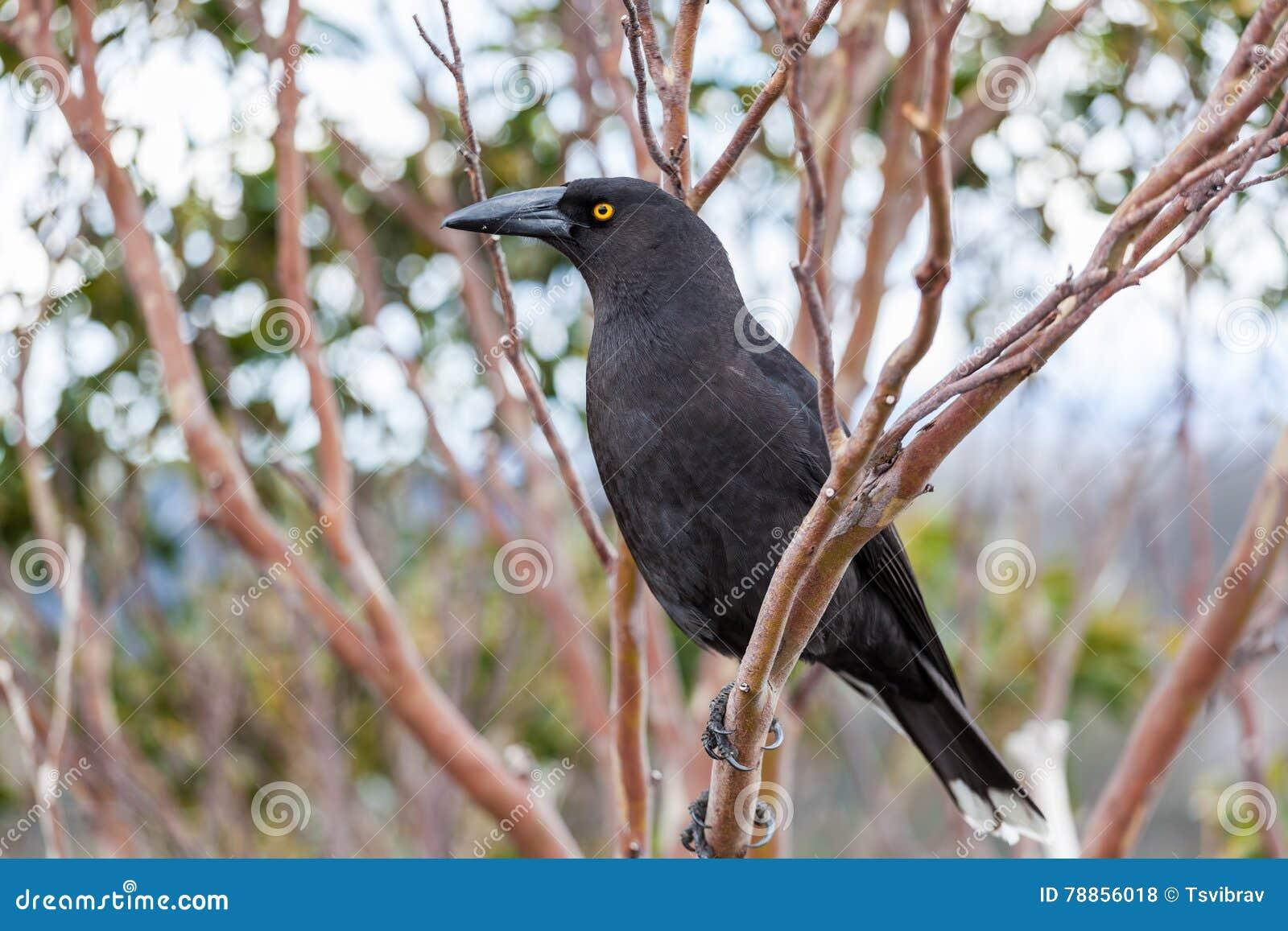 ακραίο μεγάλο μαύρο πουλί Ebony λεσβίες σαγηνεύει έφηβος