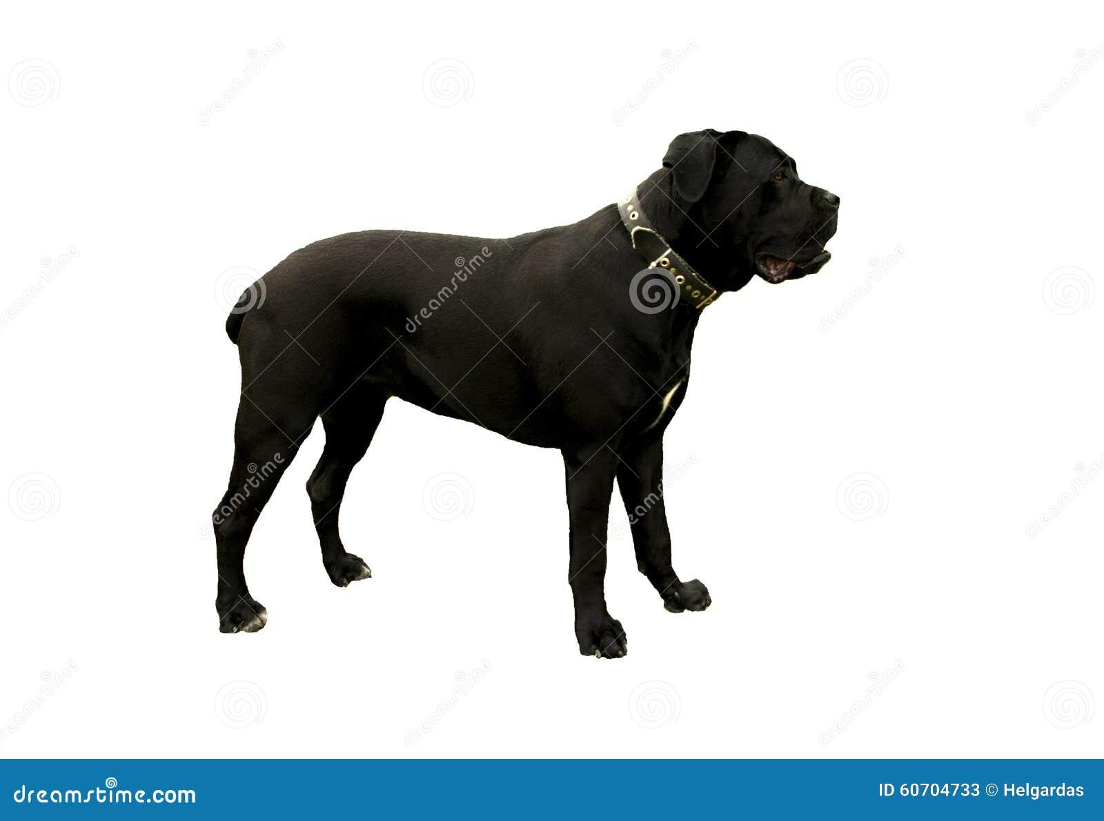 μαύρο σκυλί corso καλάμων