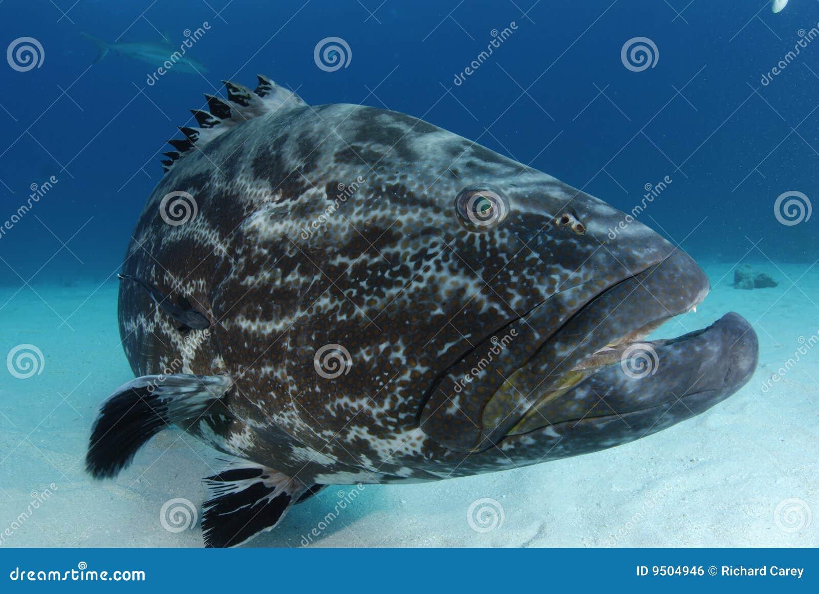 μαύρο grouper