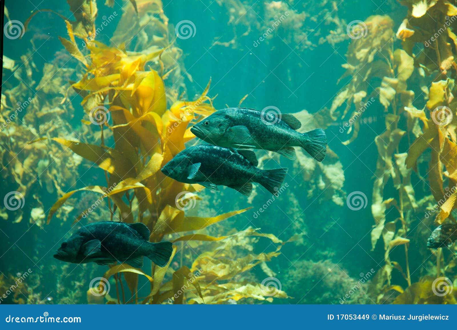 μαύρο rockfish