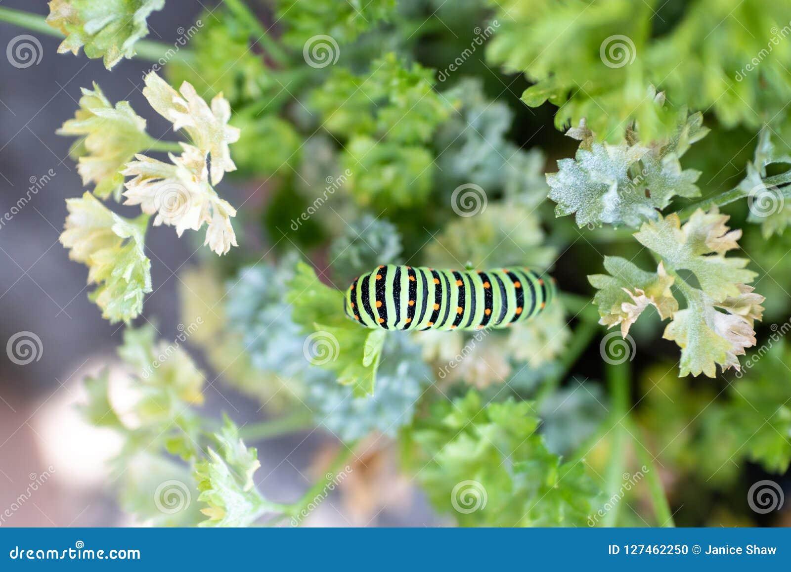 Μαύρο Swallowtail Caterpillar στο μαϊντανό