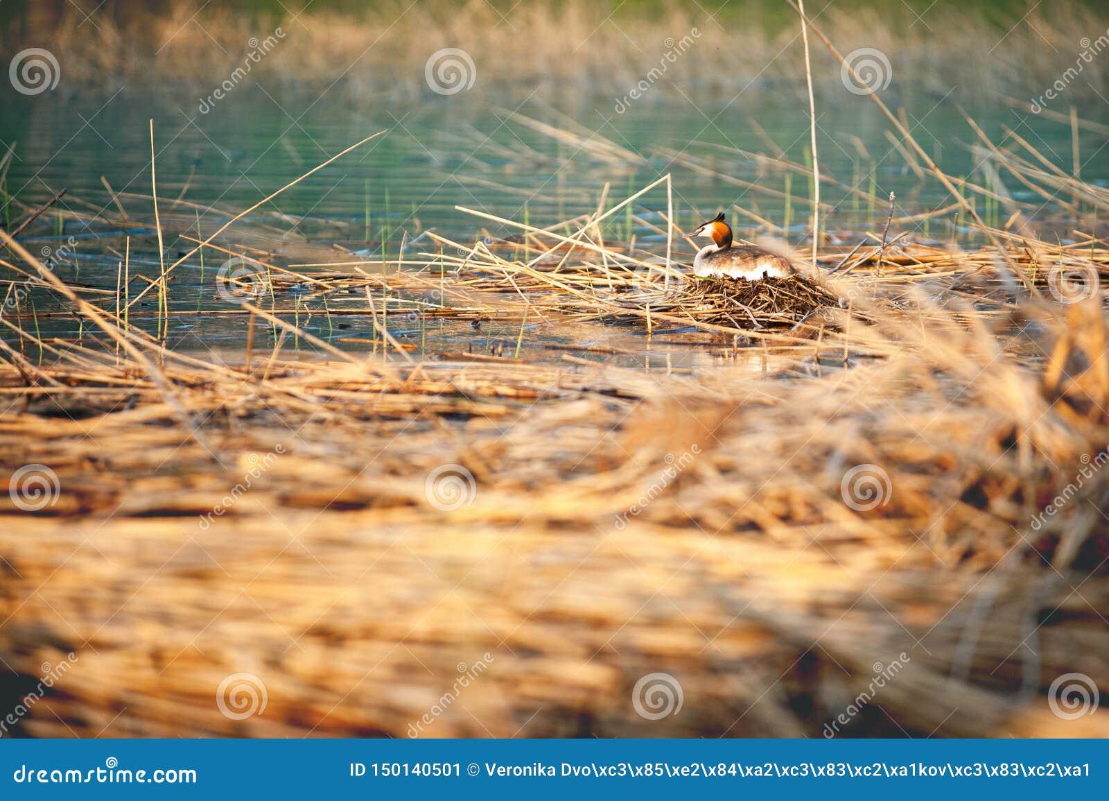 Μεγάλη λοφιοφόρη συνεδρίαση grebe στο cristatus Podiceps φωλιών Φωτογραφία άγριας φύσης με το θολωμένο υπόβαθρο