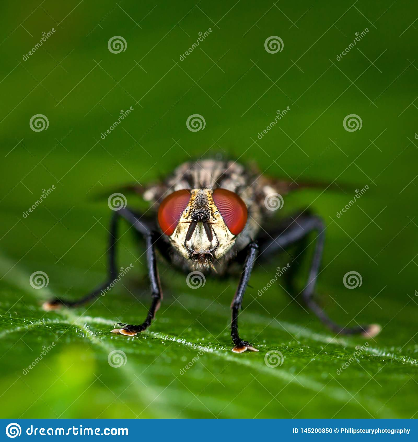 Μεγάλη μύγα σπιτιών