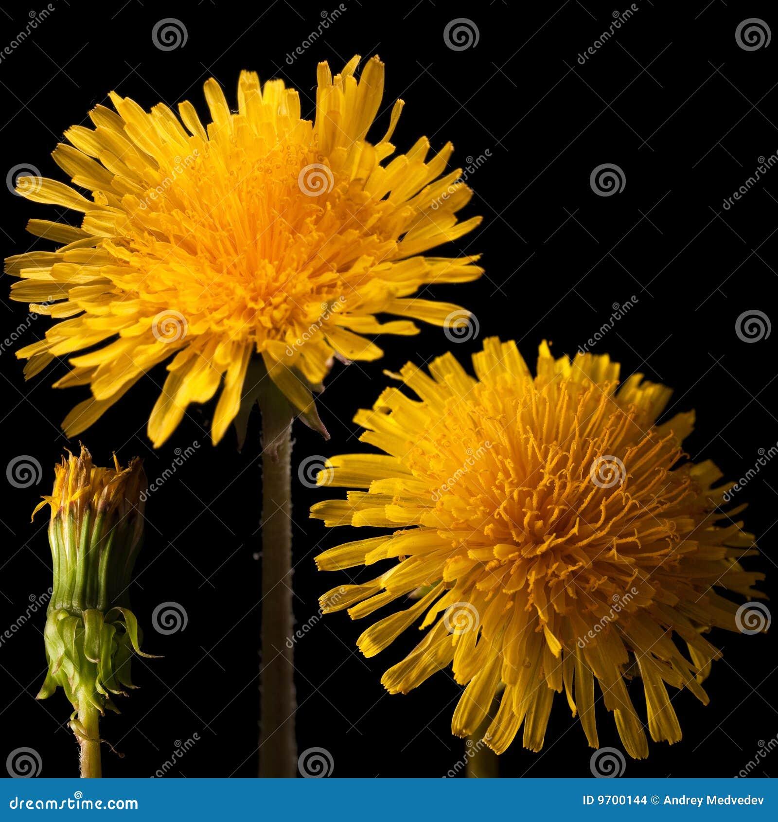 μεγάλη στενή αφίσα λουλουδιών πικραλίδων επάνω