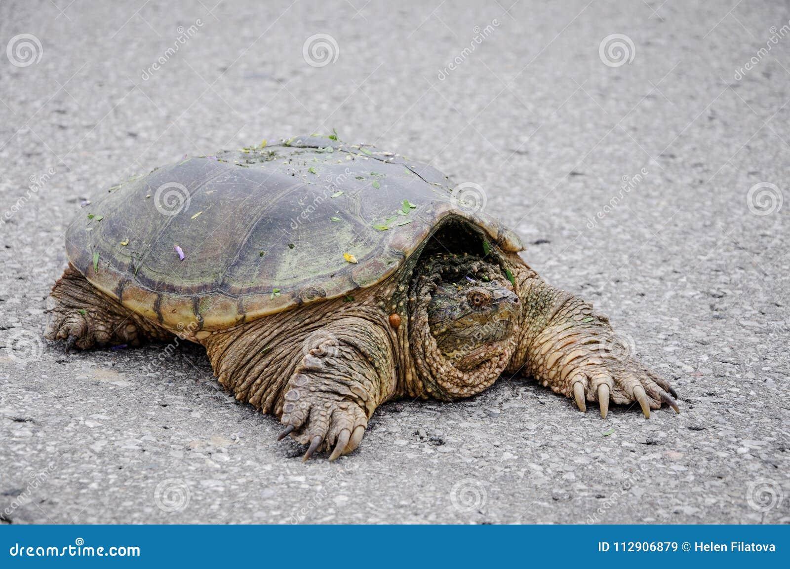 94e702be8f89 Μεγάλη χελώνα σε έναν δρόμο Στοκ Εικόνα - εικόνα από δέρμα