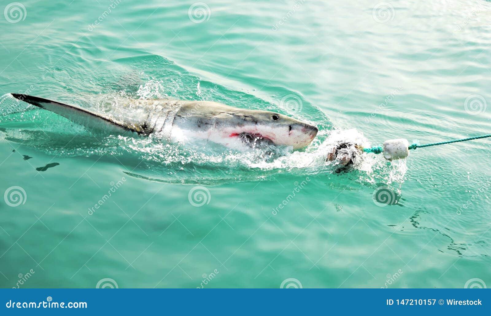 Μεγάλος άσπρος καρχαρίας που χαράζει ένα θέλγητρο κρέατος και που παραβιάζει την επιφάνεια θάλασσας