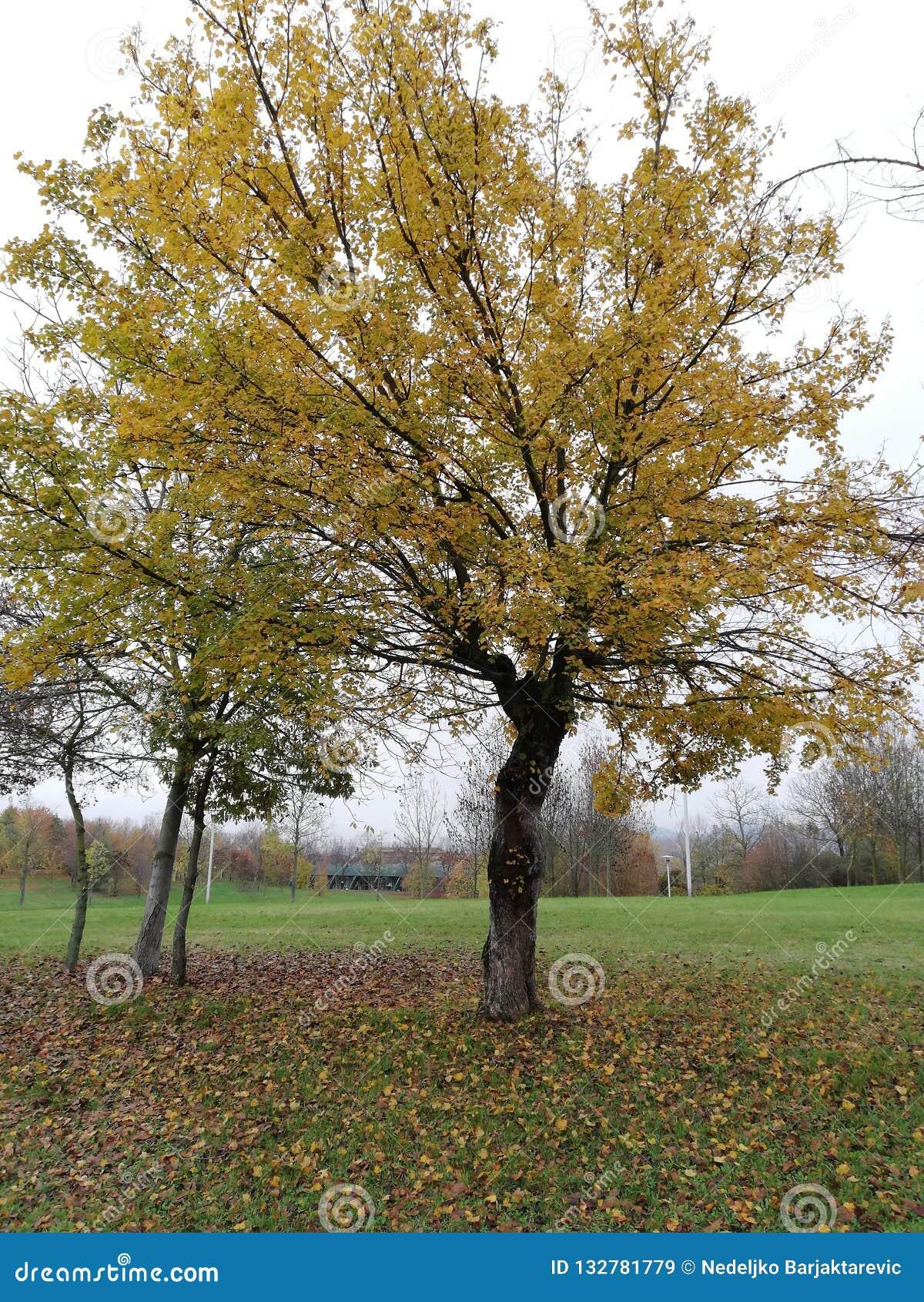 Μεγάλο δέντρο σε ένα πάρκο στα χρώματα πτώσης
