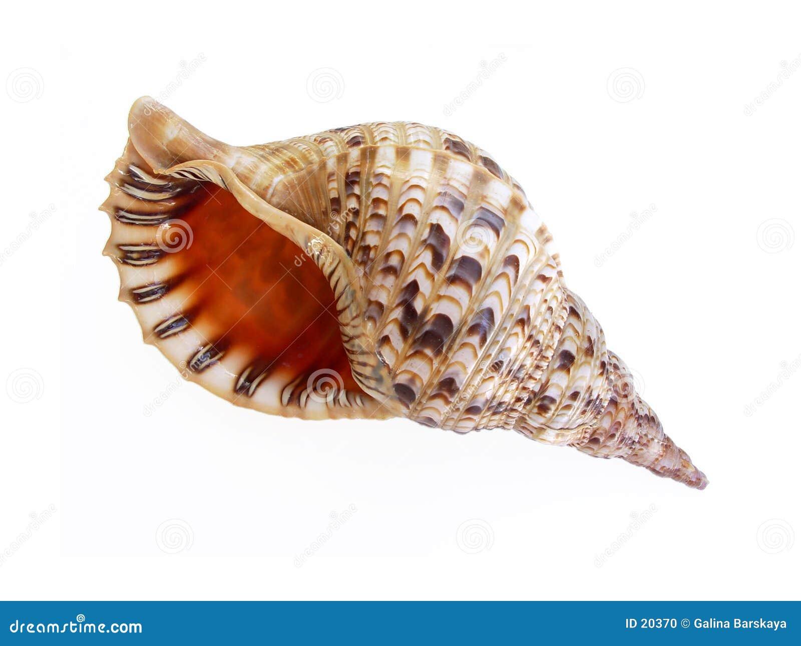 μεγάλο θαλασσινό κοχύλι