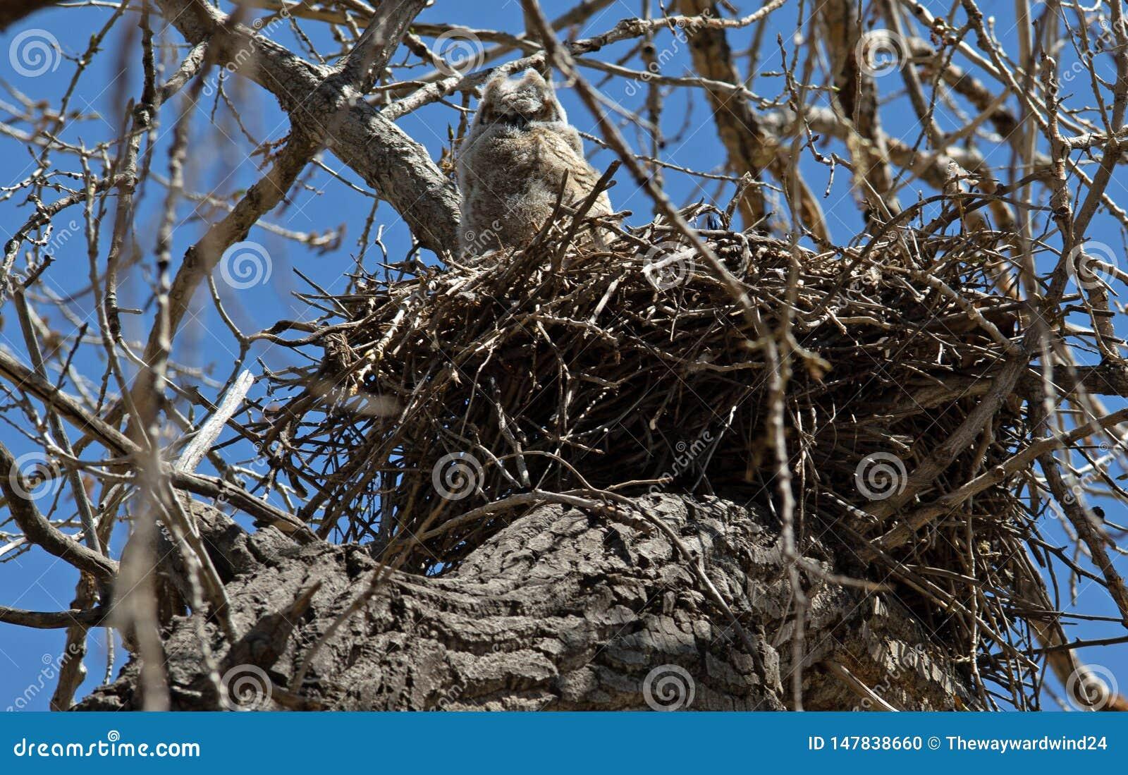 Μεγάλο κερασφόρο Owlet στη φωλιά