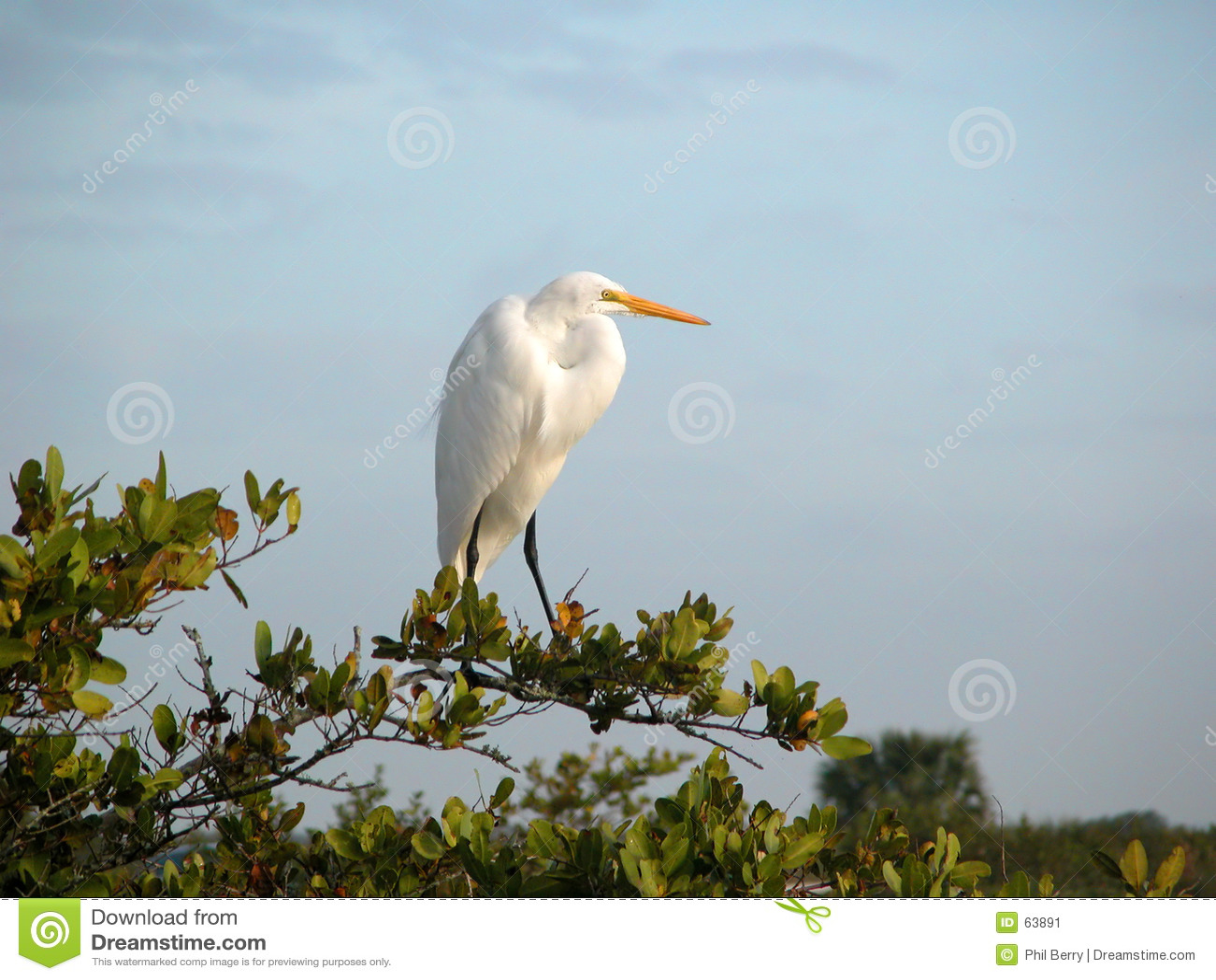 Download μεγάλο λευκό τσικνιάδων στοκ εικόνα. εικόνα από birdbaths - 63891