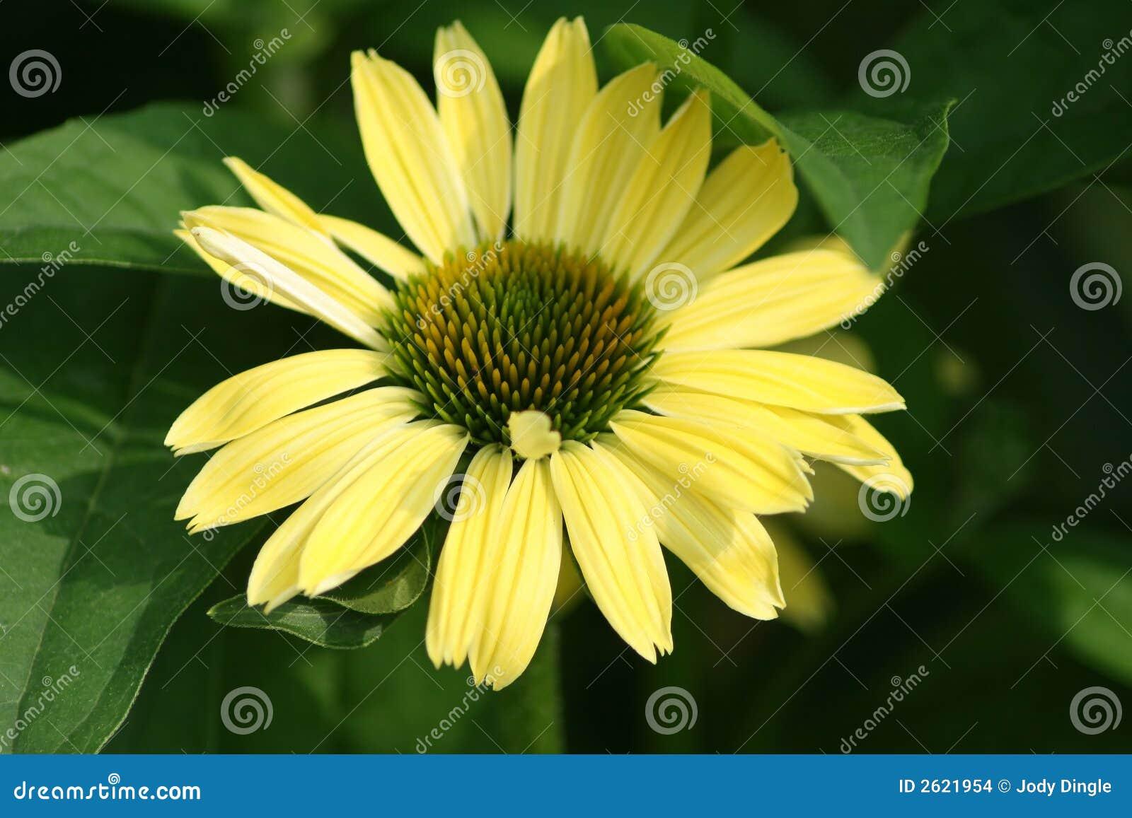 μεγάλο λουλούδι κίτριν&omic