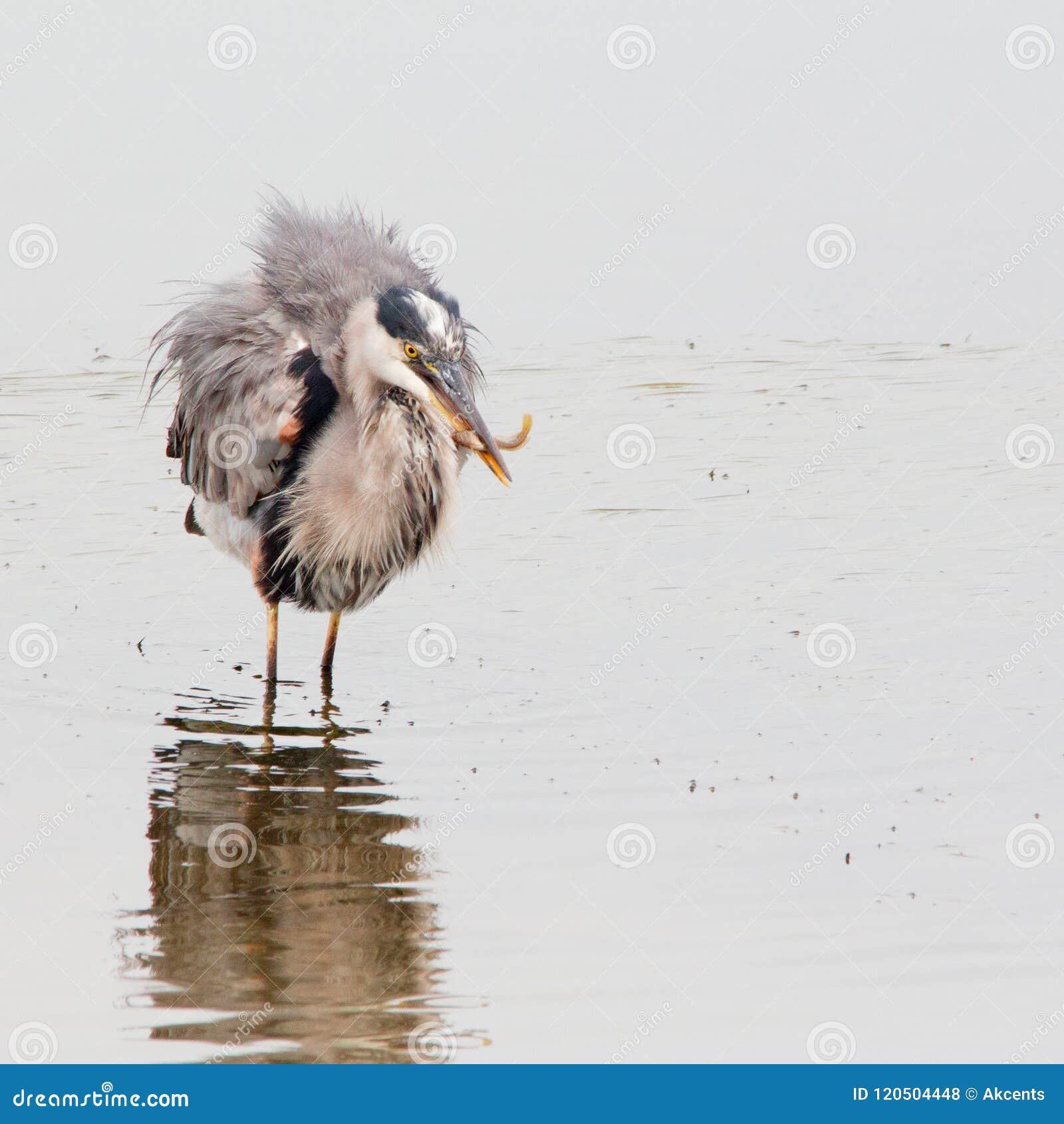 μεγάλο πλατύ πουλί