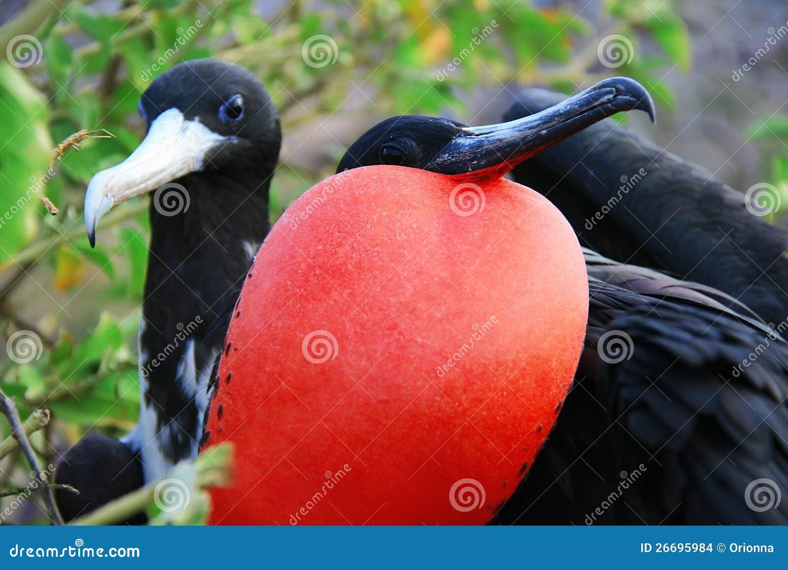 Μεγάλος Bkack πουλί