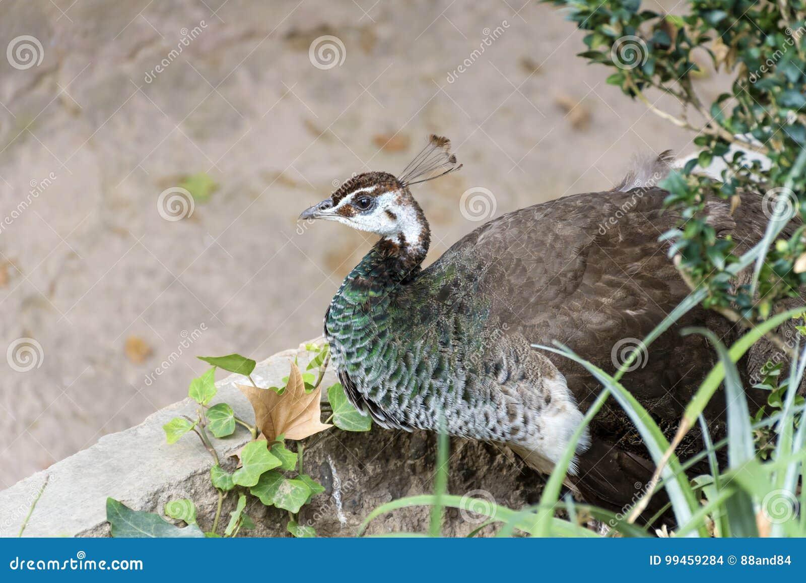 εικόνες από ένα μεγάλο πουλί άσχημο λίπος μαύρο μουνί