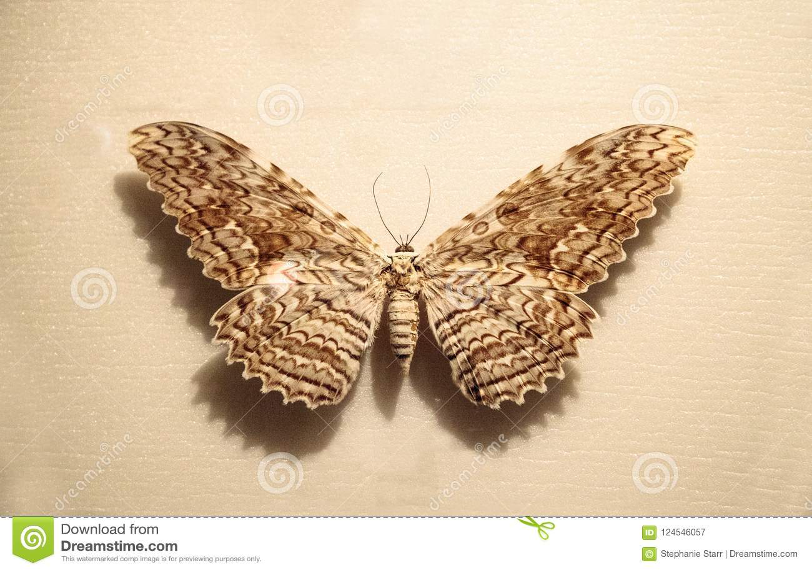 Μεγάλο agrippina Thysania σκώρων owlet