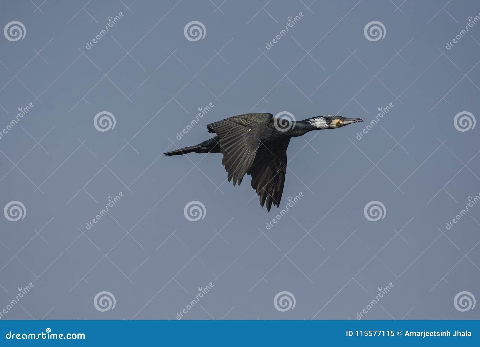 Μεγάλο carbo Phalacrocorax κορμοράνων κατά την πτήση