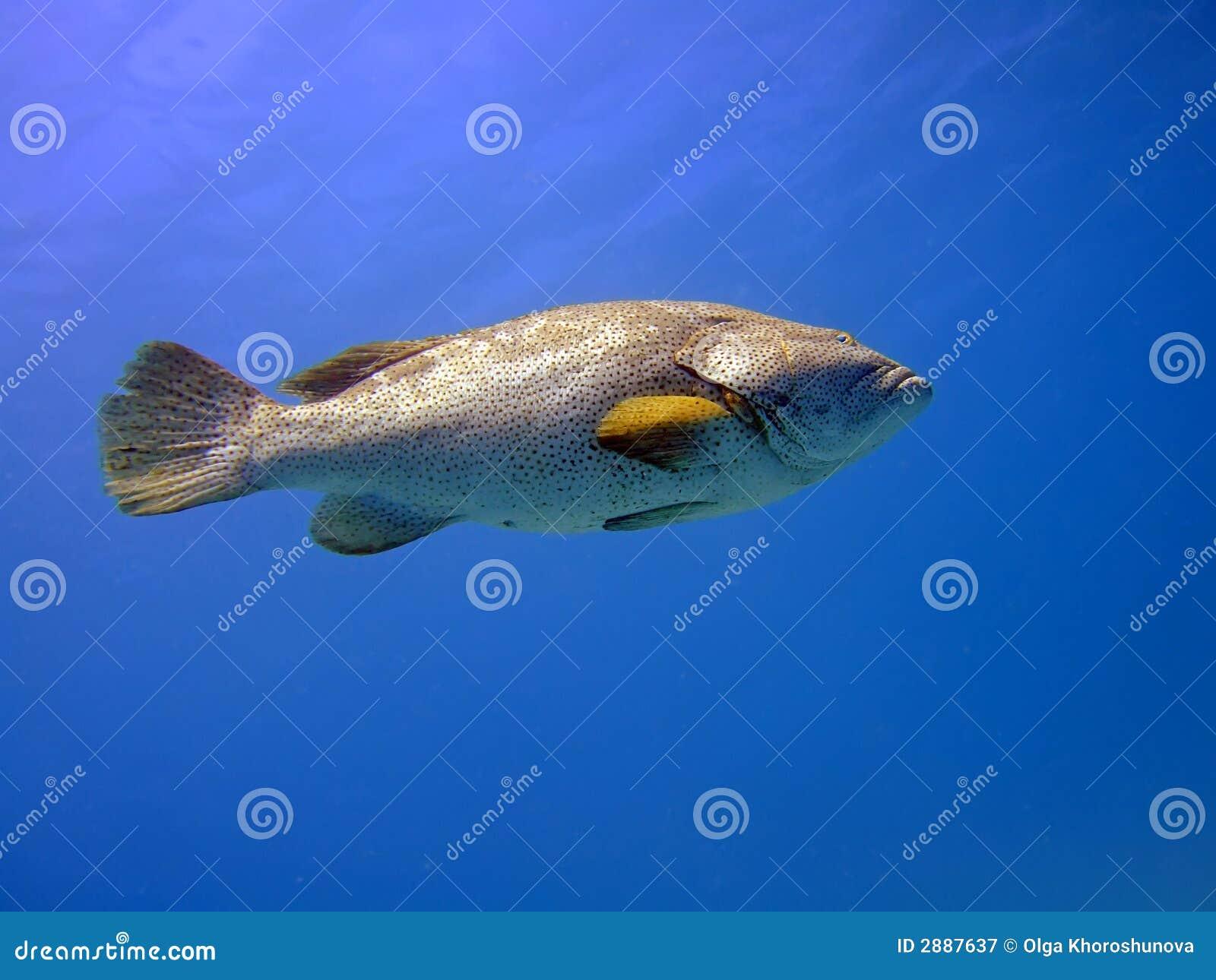 μεγάλο grouper