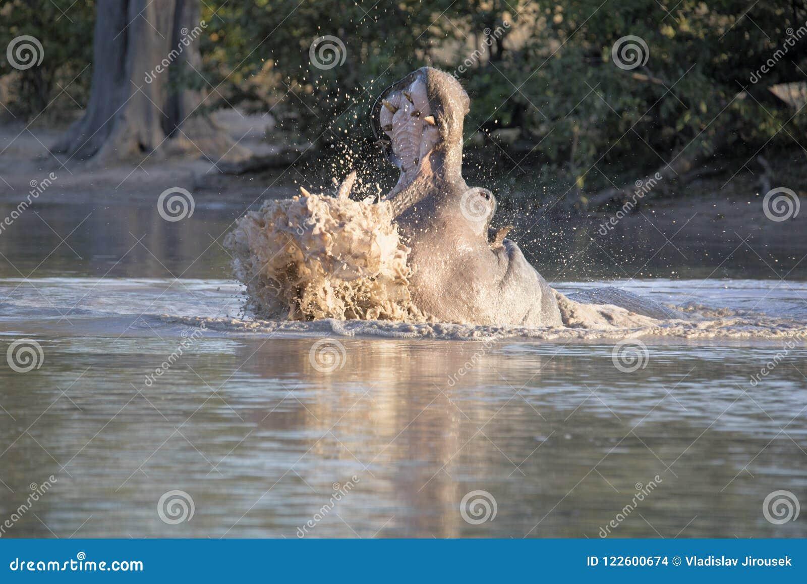 Μεγάλο Hippopotamus, amphibius Hippopotamus, υπερασπίζει το έδαφος, στο εθνικό πάρκο Moremi, Μποτσουάνα