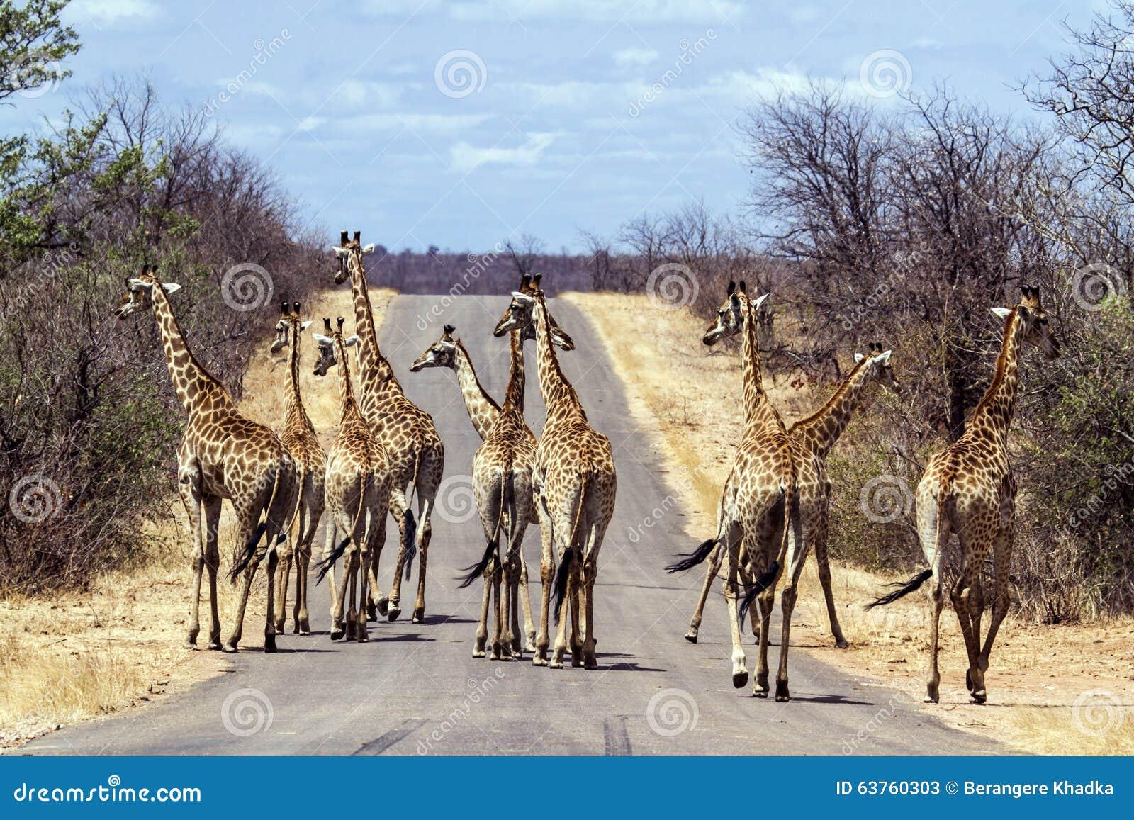 Μεγάλη ομάδα Giraffes στο εθνικό πάρκο Kruger, Νότια Αφρική