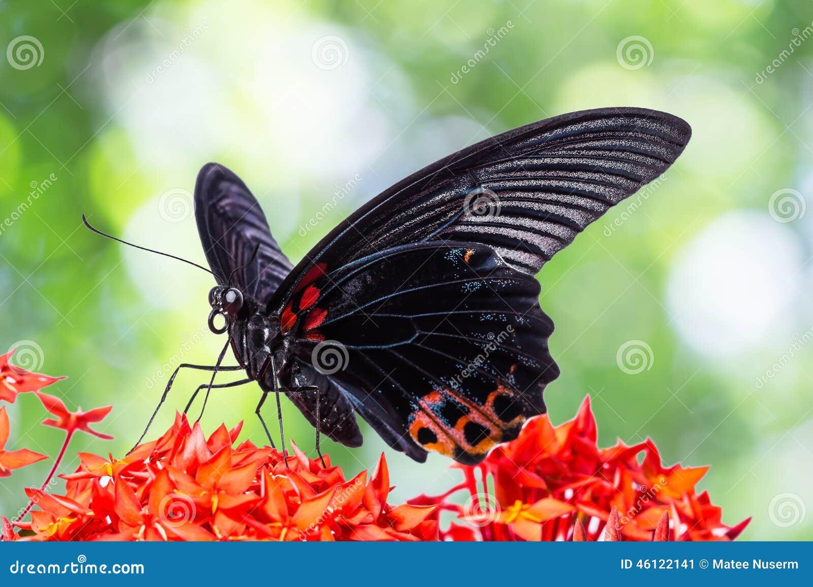 Μεγάλη των Μορμόνων πεταλούδα