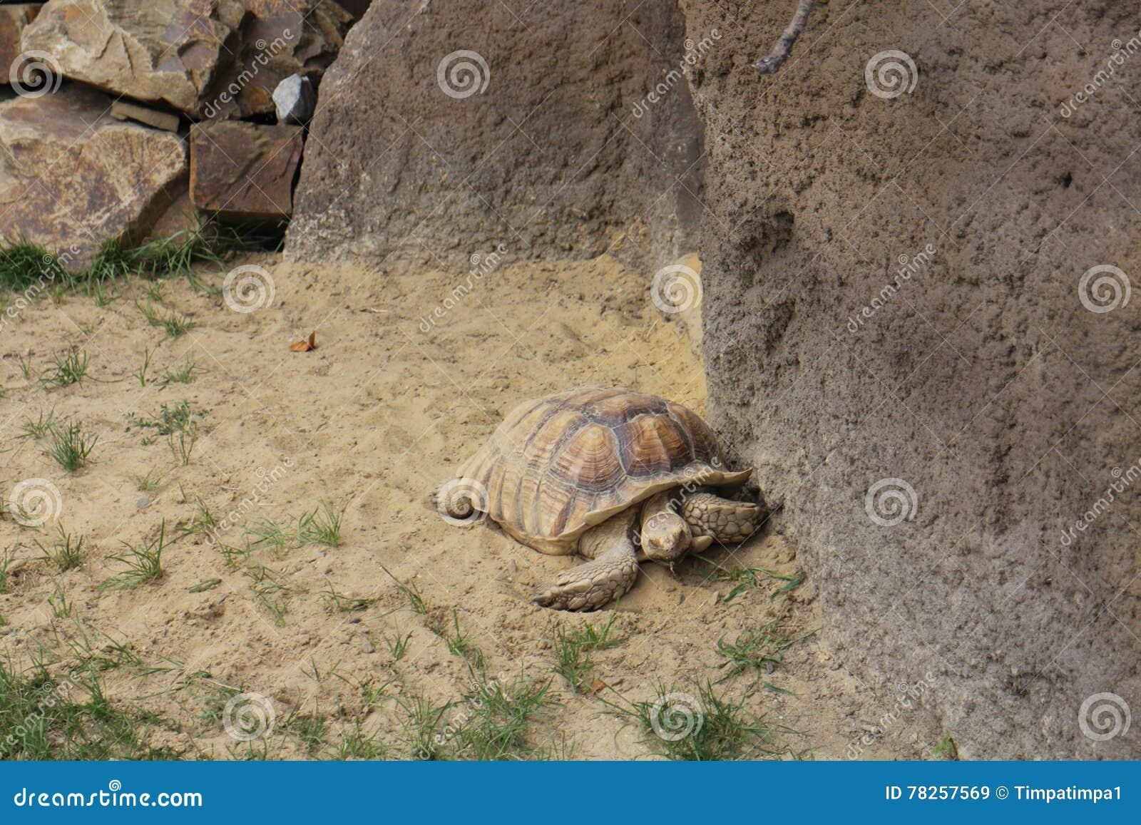 Μεγάλη χελώνα στο ζωολογικό κήπο