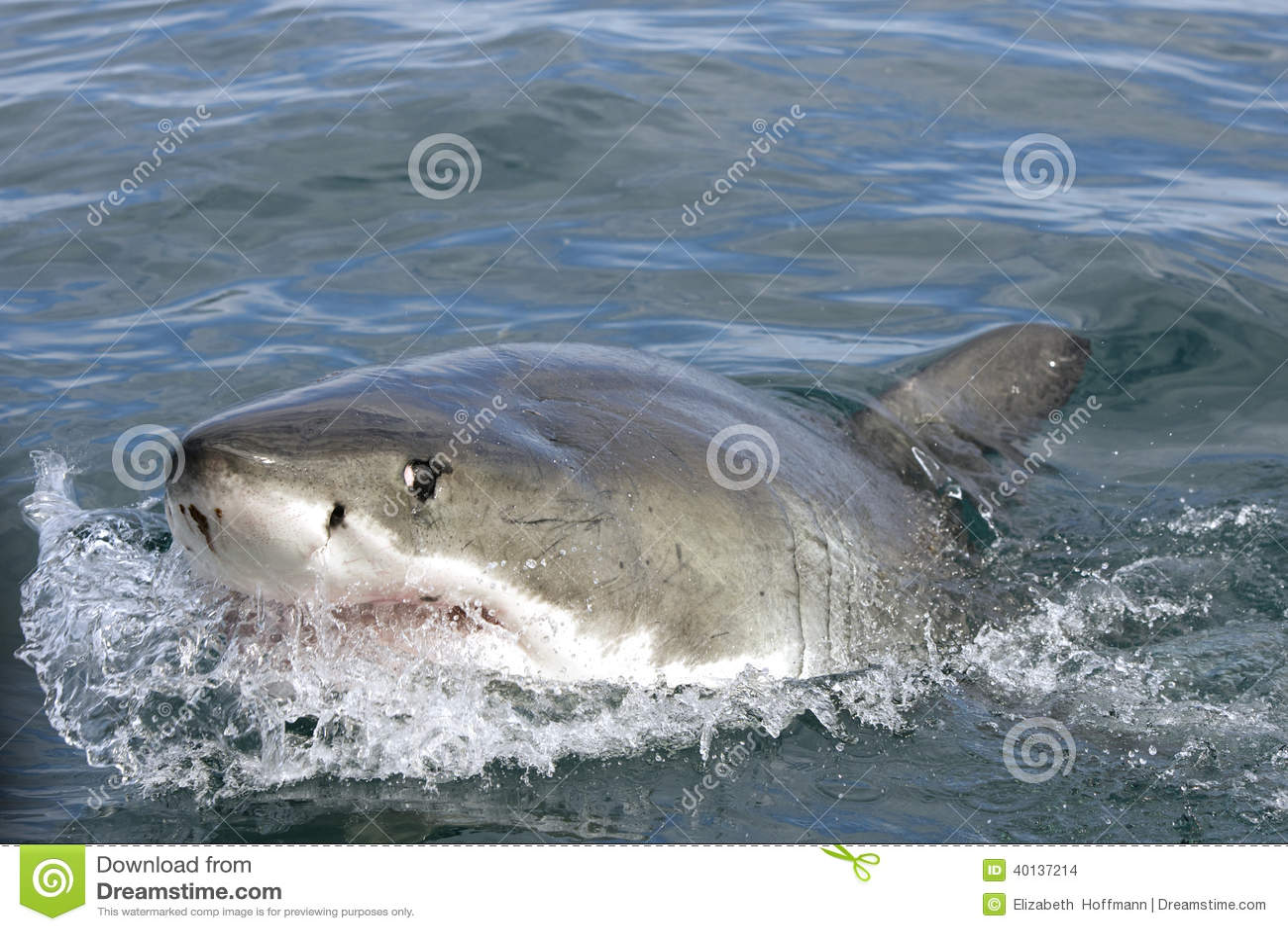 Μεγάλος άσπρος καρχαρίας