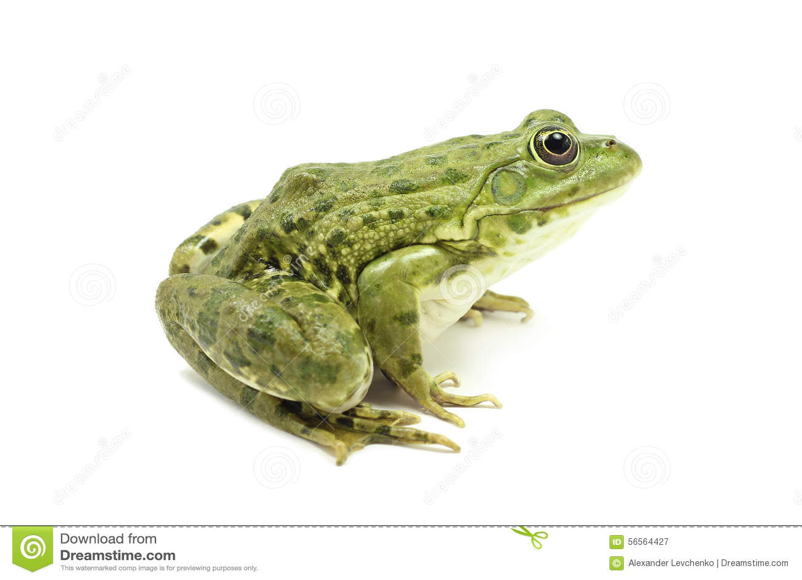 Download Μεγάλος πράσινος βάτραχος έλους Στοκ Εικόνα - εικόνα από ανασκόπησης, έλος: 56564427