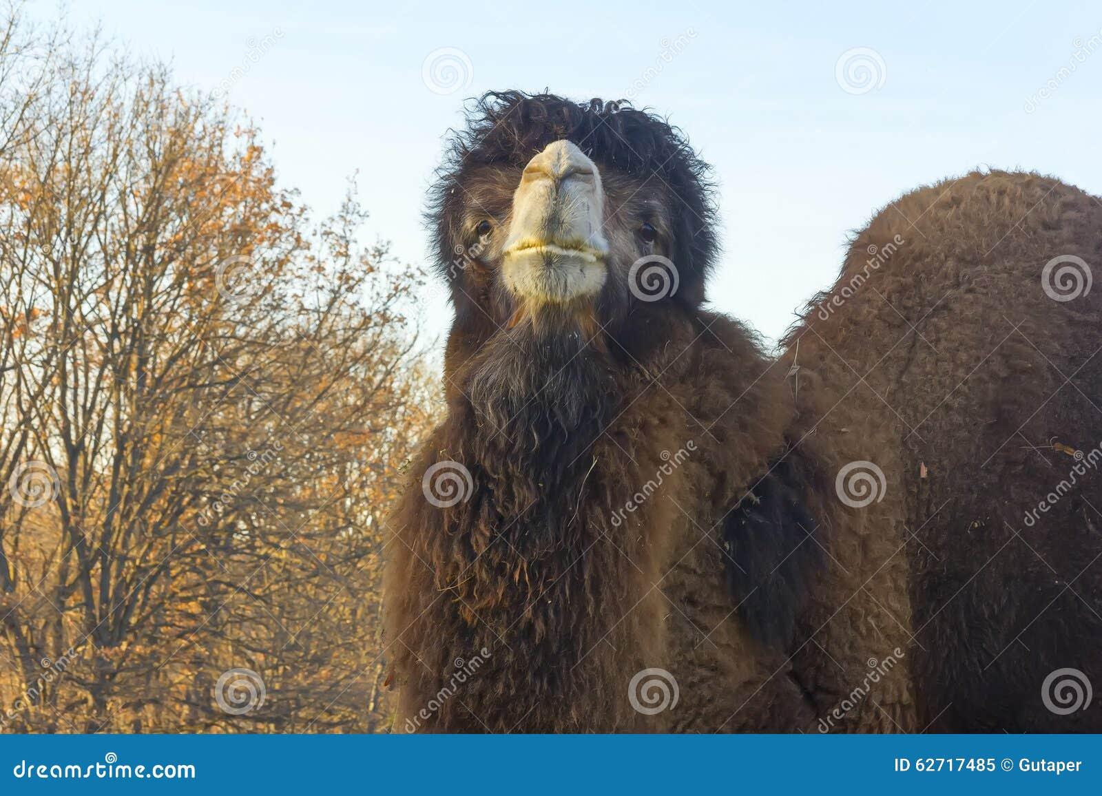 Μεγάλος δύο-η καμήλα