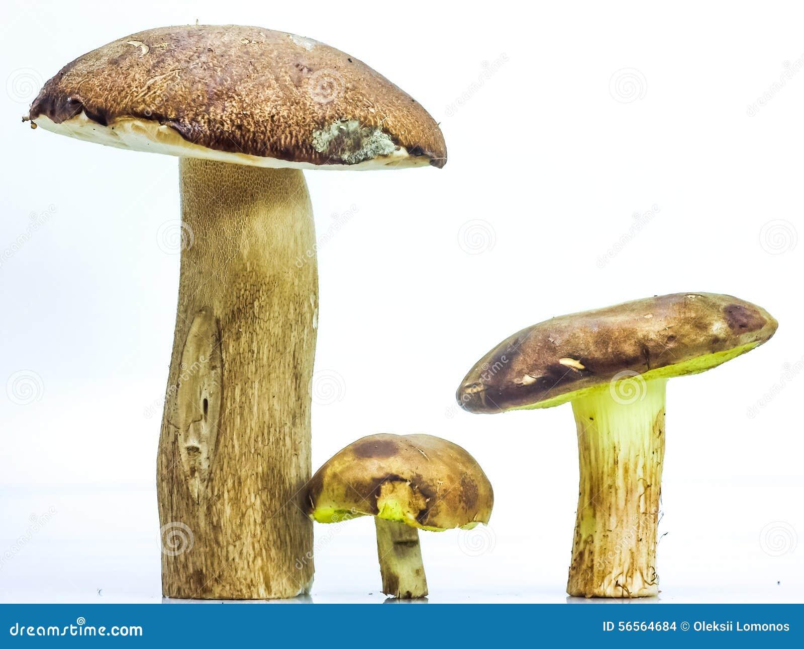 Download Μεγάλο καφετί Boletus μανιταριών και ο σφόνδυλος Στοκ Εικόνες - εικόνα από τρόφιμα, τεράστιος: 56564684