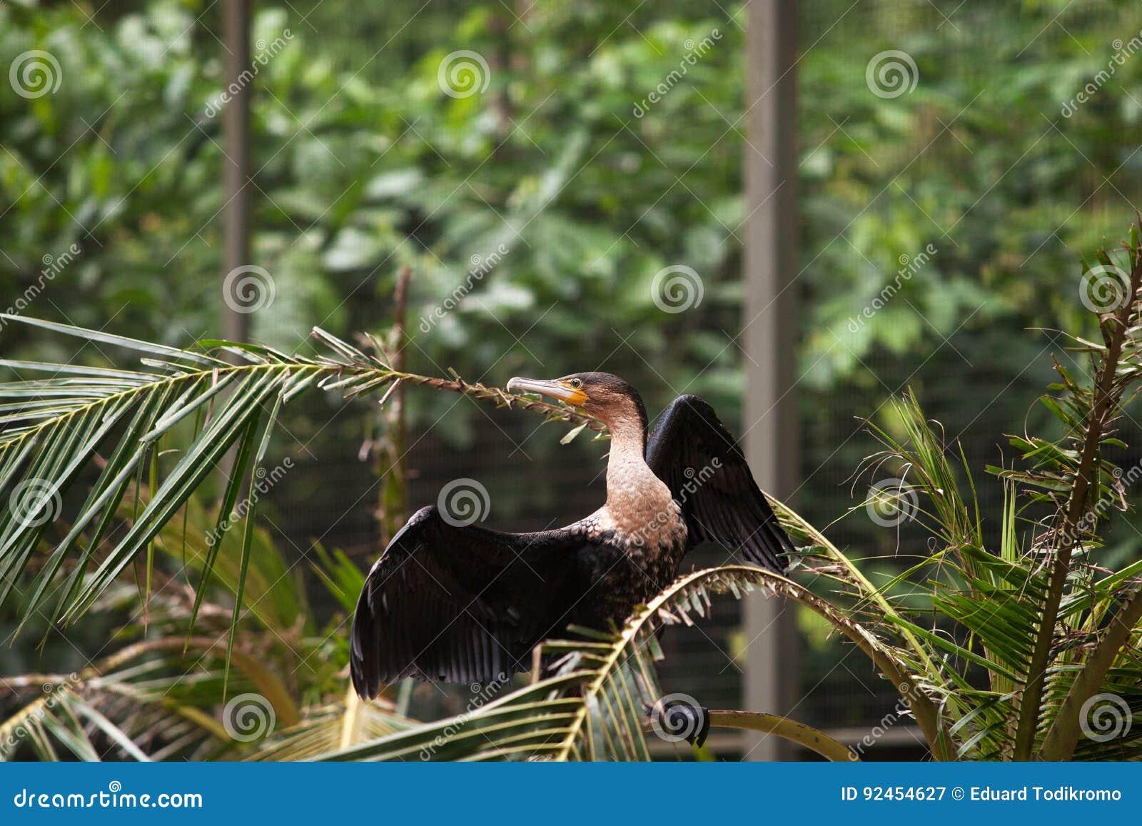 μεγάλο μαύρο πουλί που αρσενικά