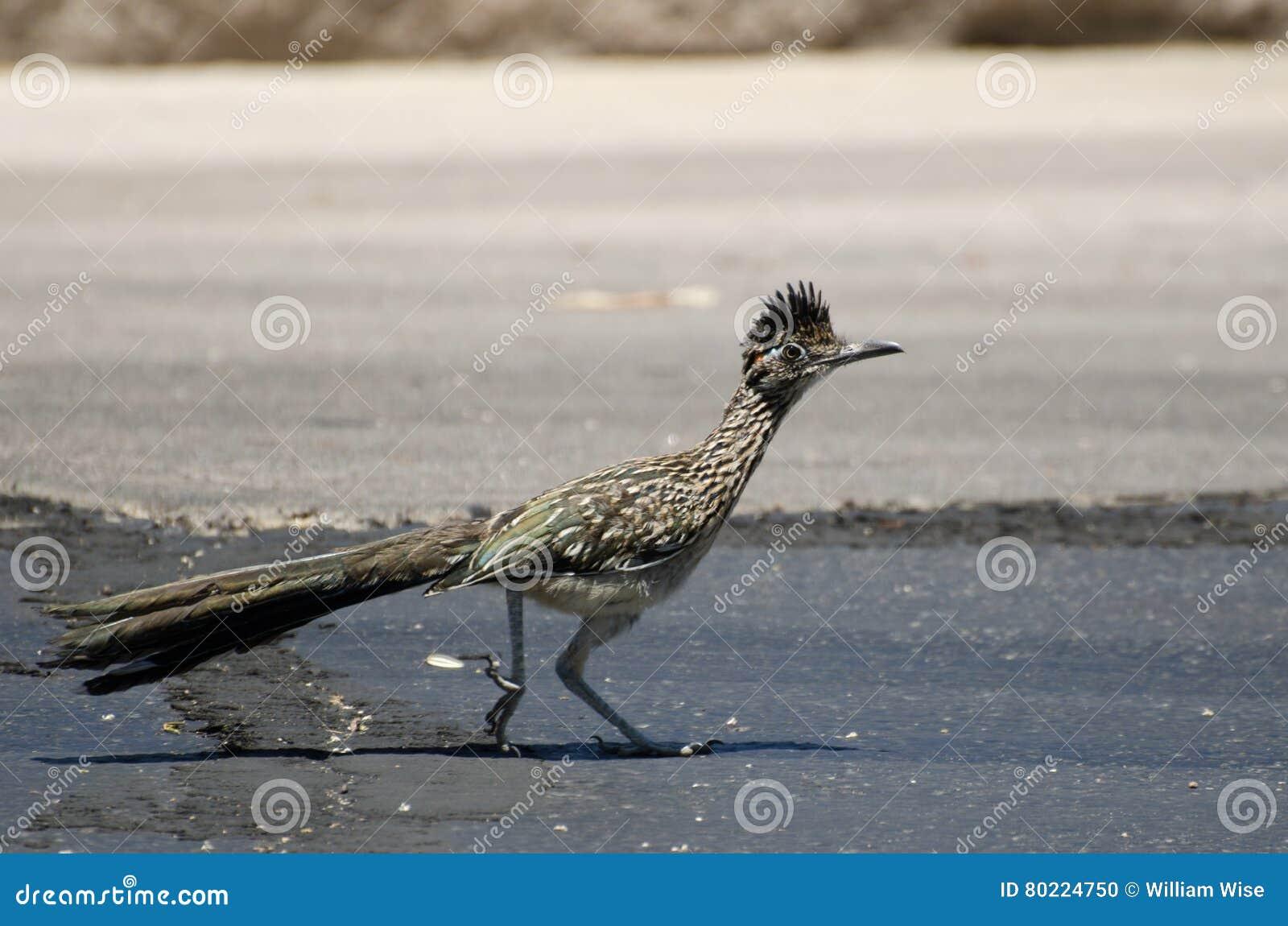 Μεγάλο πουλί Roadrunner, Tucson Αριζόνα