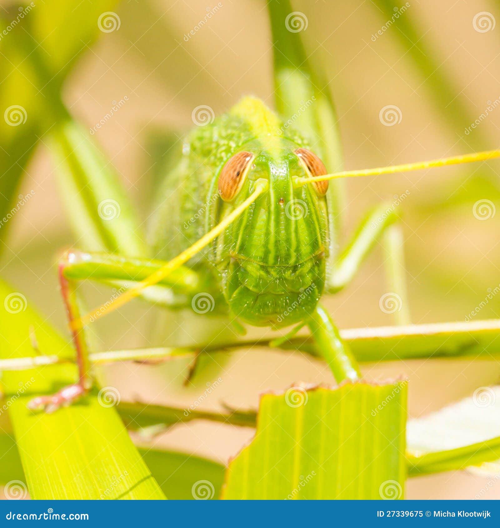 Μεγάλο grasshopper, που τρώει τη χλόη