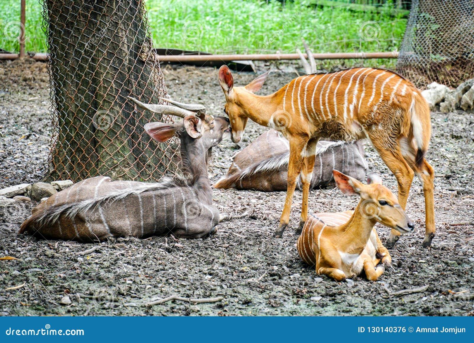 Μεγαλύτερο υπόλοιπο Kudu στη σκιά του δέντρου