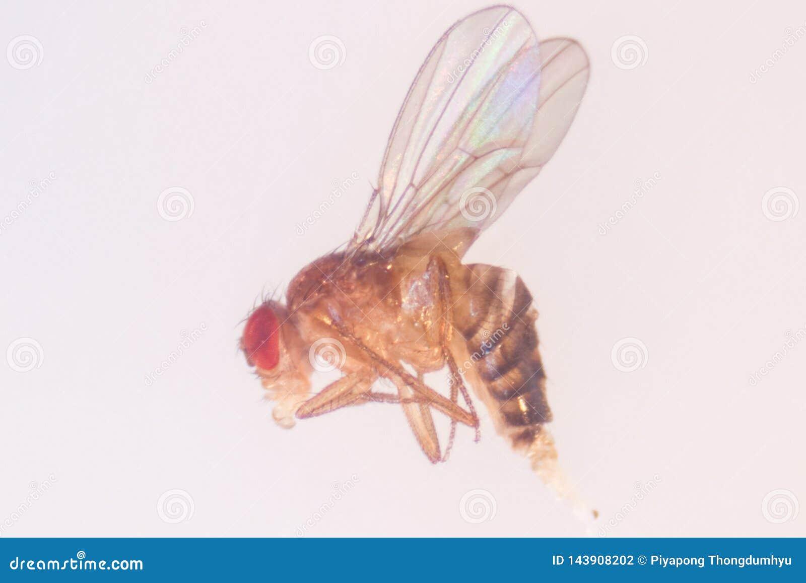 Μελέτη γενετική Drosophila melanogaster της μύγας φρούτων, μύγα ξιδιού στο εργαστήριο