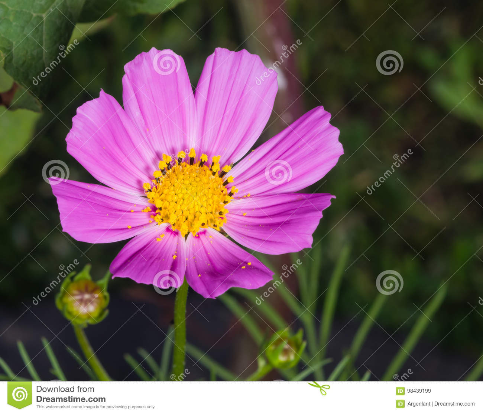 Μεξικάνικος κόσμος αστέρων ή κήπων, bipinnatus κόσμου, πορφυρή κινηματογράφηση σε πρώτο πλάνο λουλουδιών, εκλεκτική εστίαση, ρηχό