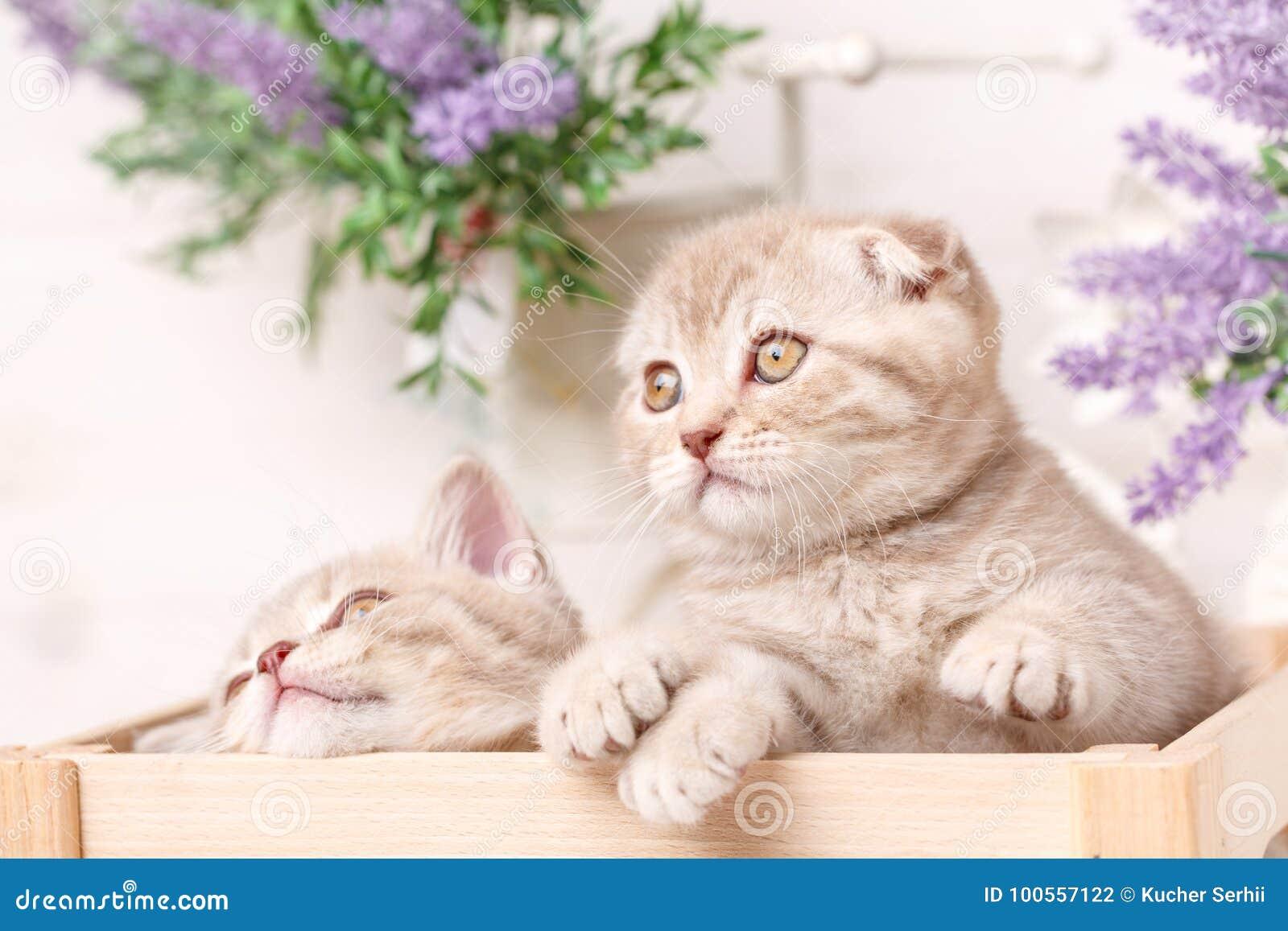 Μερικά σκωτσέζικα κόκκινα γατάκια κάθονται σε ένα διακοσμητικό ξύλινο κιβώτιο