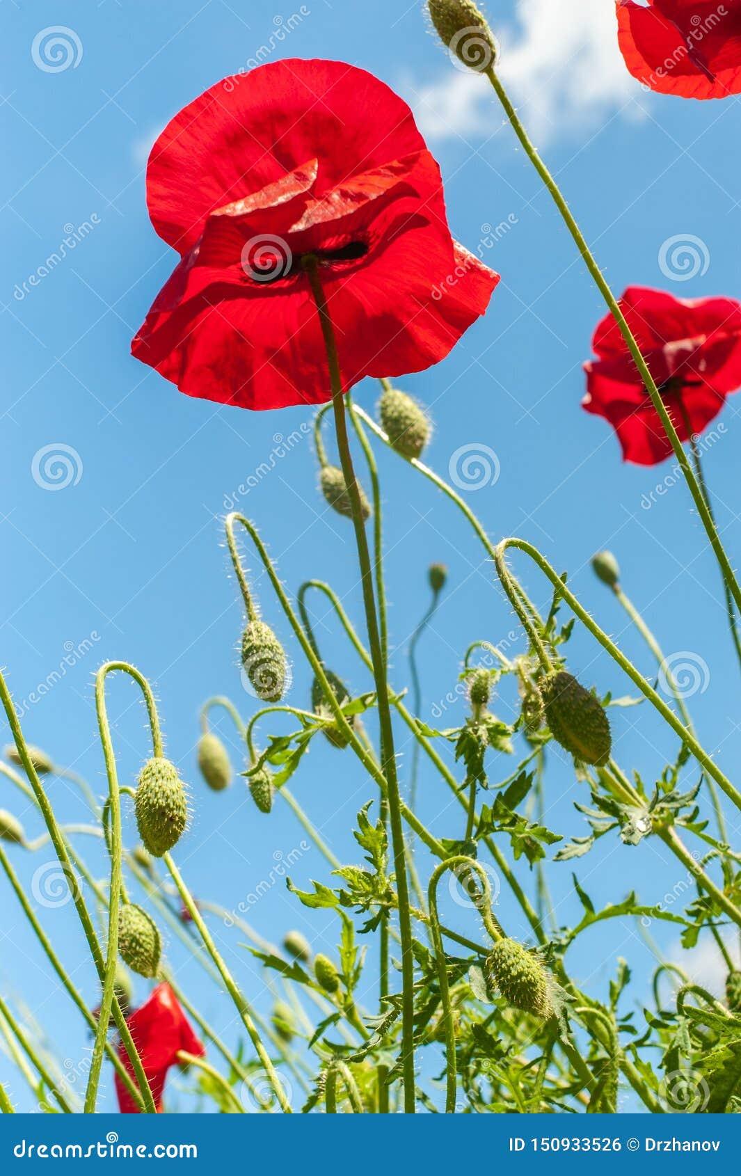 Μερικοί κόκκινη φωτεινή απλή παπαρούνα ανθίζουν κάτω από το φωτεινό μπλε ουρανό, κάθετη φωτογραφία