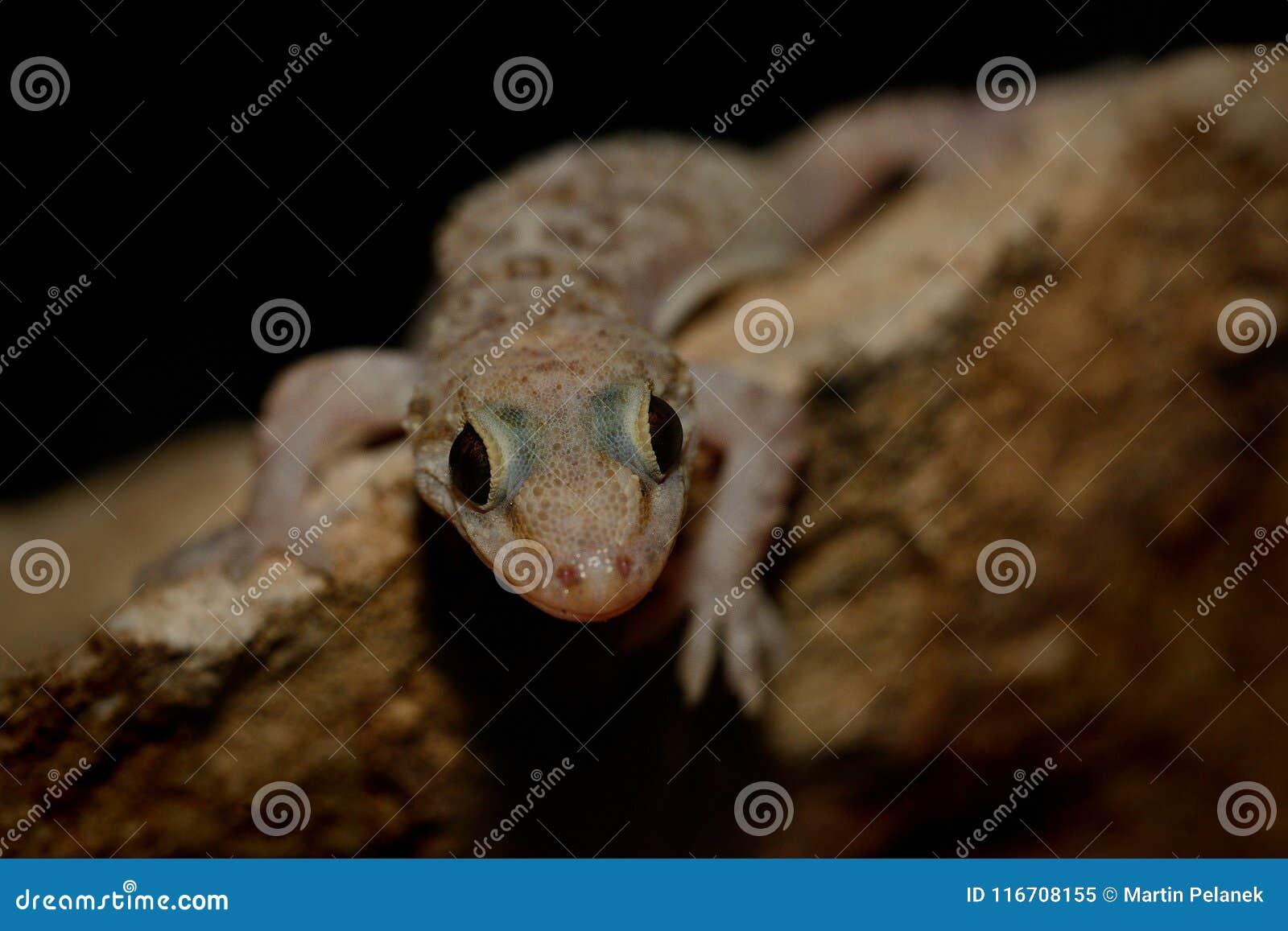 Μεσογειακό turcicus Hemidactylus gecko σπιτιών στον τοίχο τη νύχτα