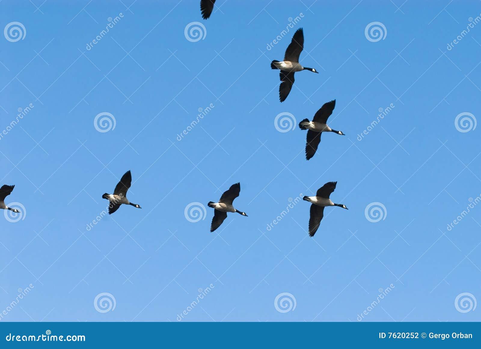 μετανάστευση χήνων