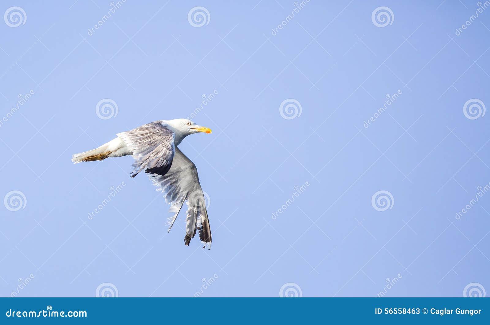 Download με πόδια κίτρινος γλάρων στοκ εικόνα. εικόνα από πτήση - 56558463