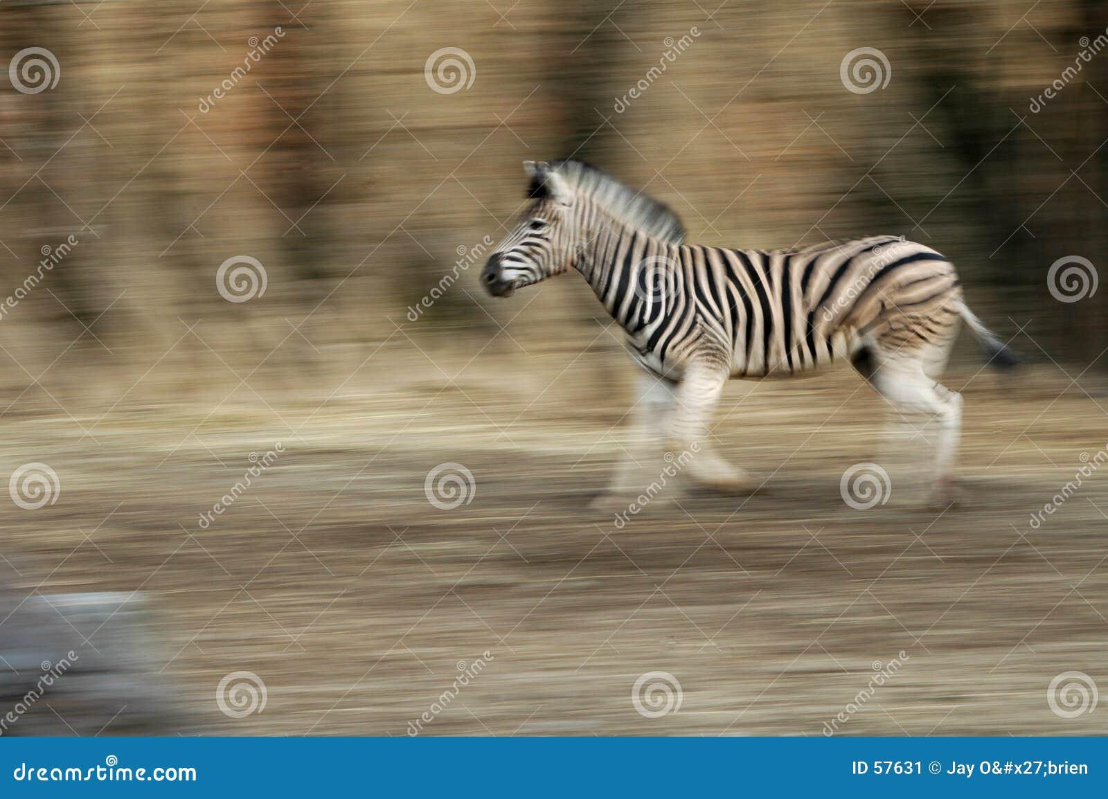 Download με ραβδώσεις τρεξίματος στοκ εικόνα. εικόνα από αφρική, ζωικός - 57631