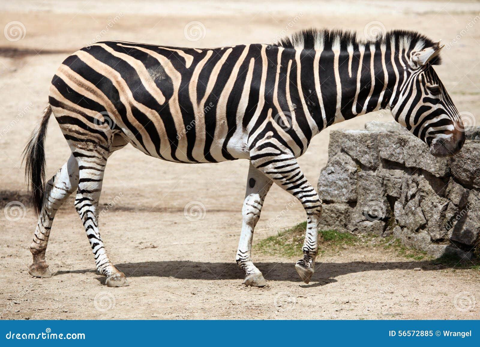 Download Με ραβδώσεις γυρολόγου (chapmani Quagga Equus) Στοκ Εικόνα - εικόνα από γυρολόγος, πανίδα: 56572885