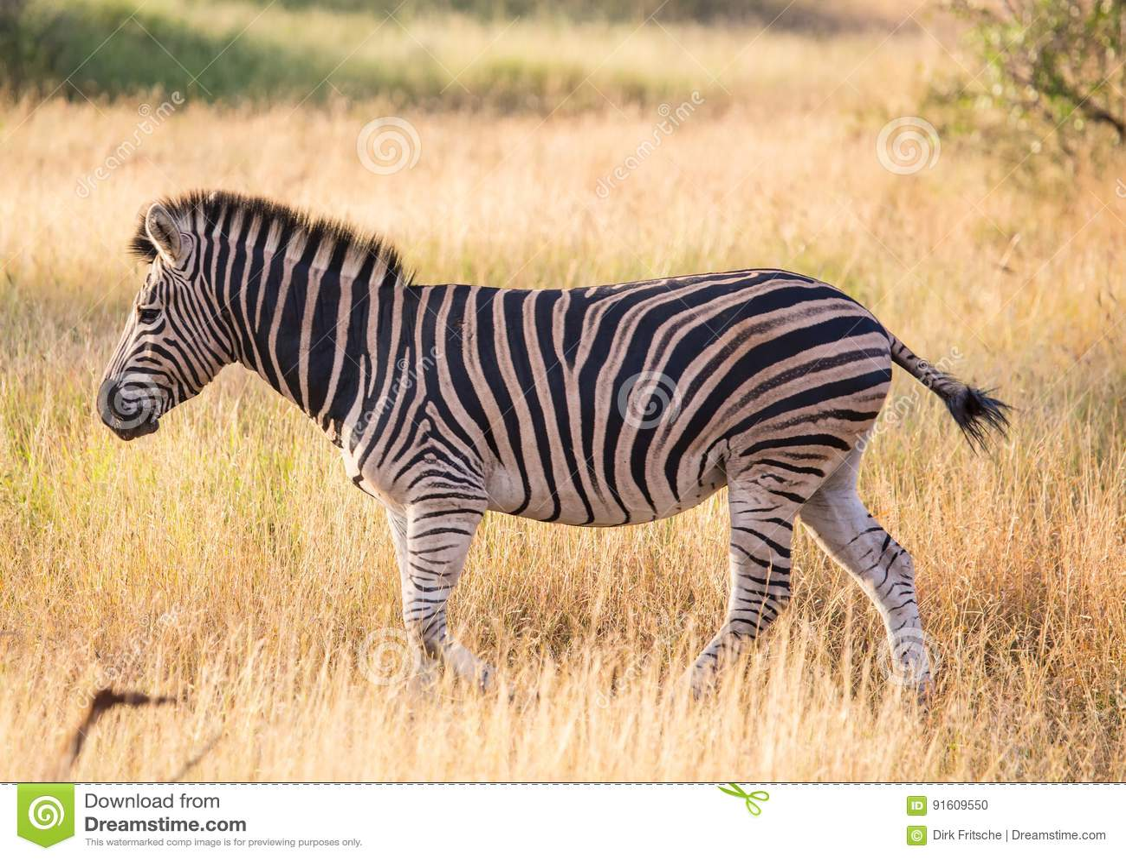 Με ραβδώσεις πεδιάδων στο εθνικό πάρκο Kruger