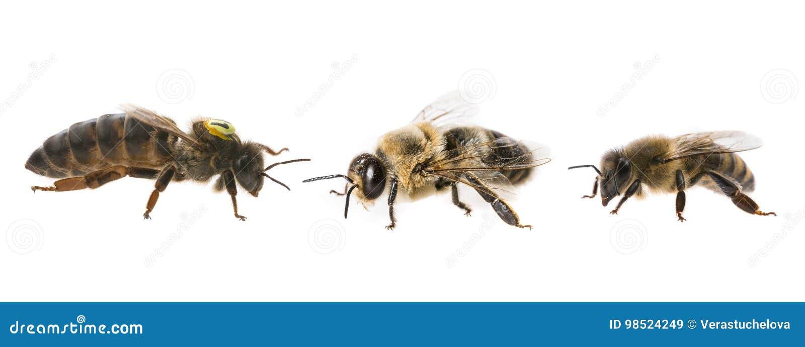 Μητέρα βασίλισσας μελισσών και κηφήνας και εργαζόμενος μελισσών - τρεις τύποι μελισσών