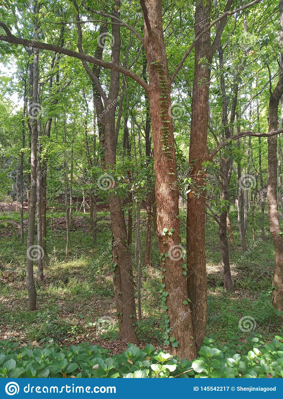 Μια άμπελος που αναρριχείται σε ένα δέντρο