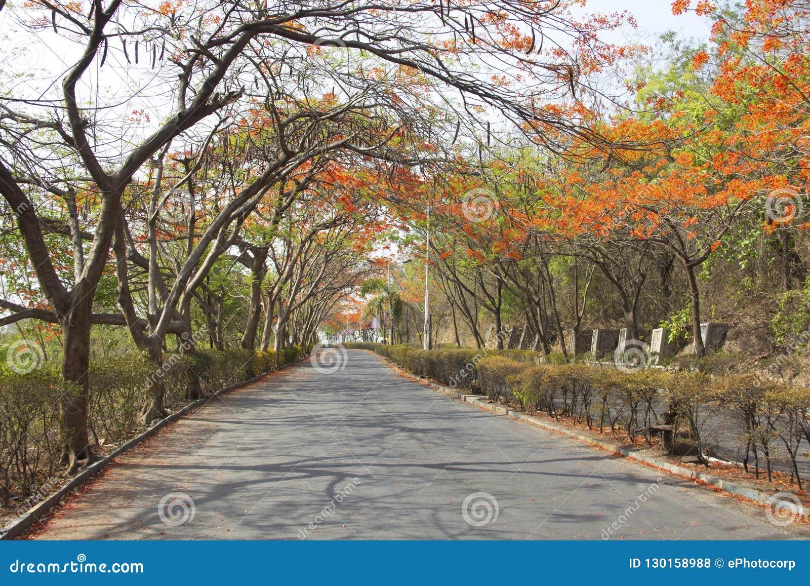 Μια άποψη του δρόμου με το gulmohar θόλο δέντρων κατά τη διάρκεια του καλοκαιριού, Pune, Ινδία