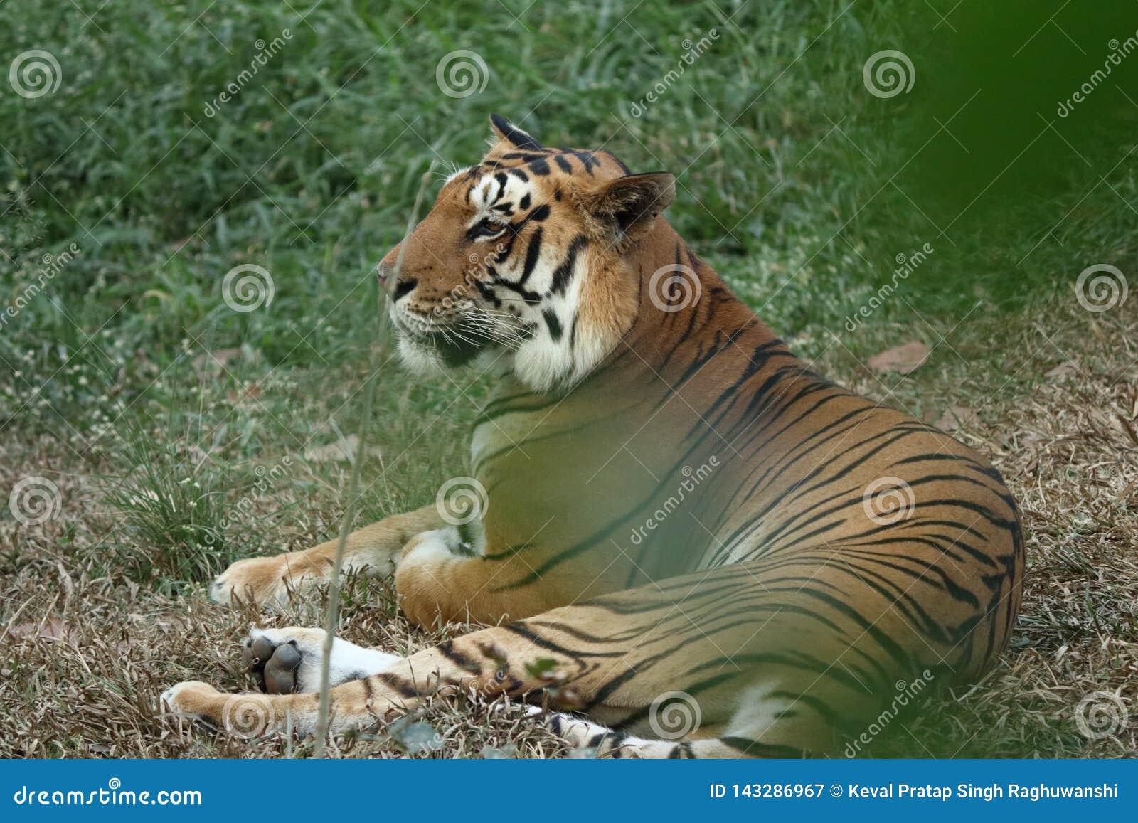 Μια ήρεμη χαλάρωση τιγρών στους θάμνους