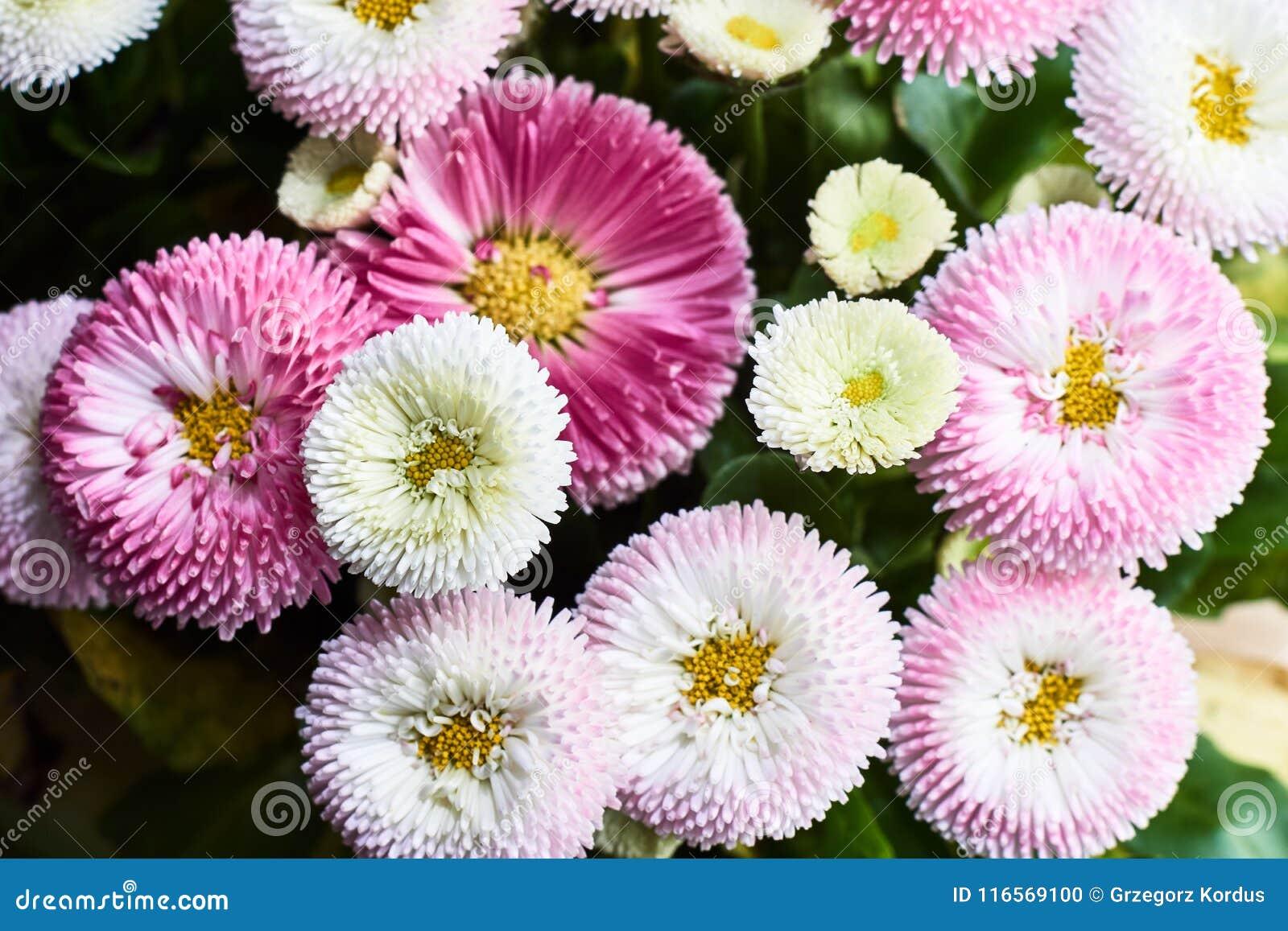 Μια ανθοδέσμη των όμορφων λουλουδιών μαργαριτών